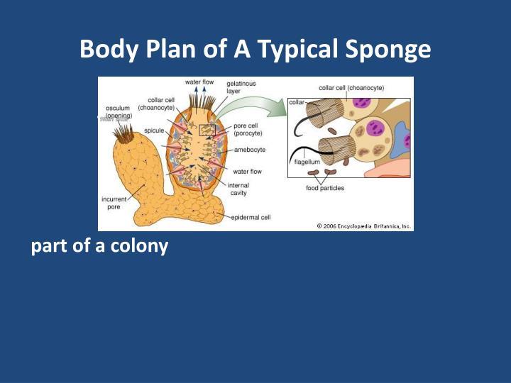 Body Plan of A Typical Sponge