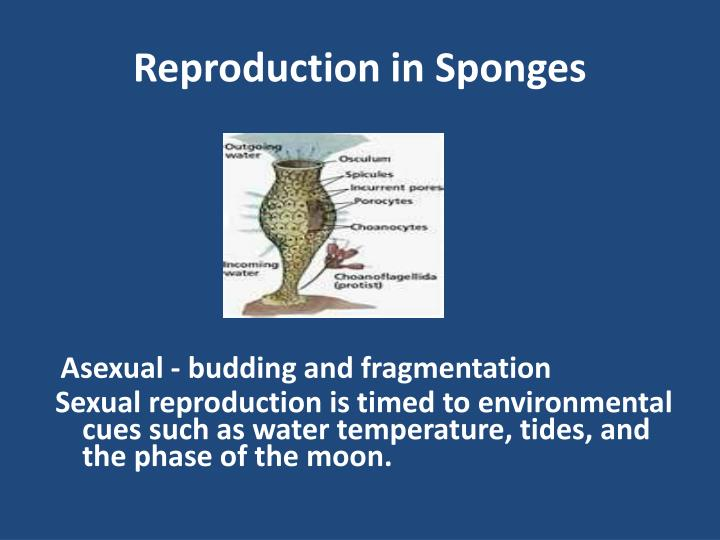 Reproduction in Sponges