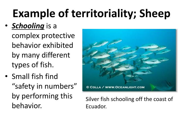 Example of territoriality; Sheep