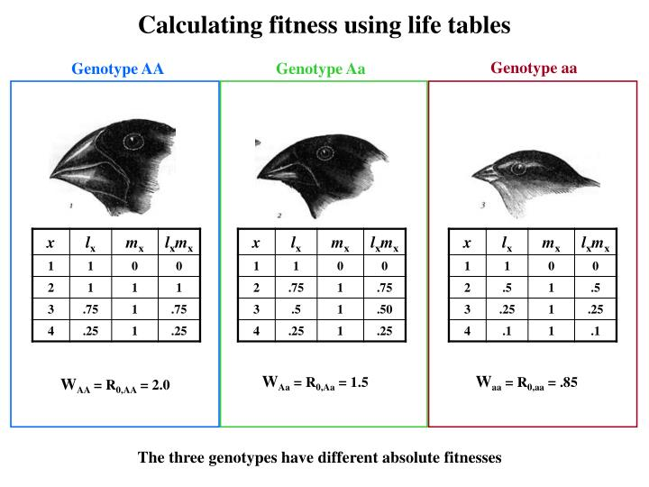 Calculating fitness using life tables