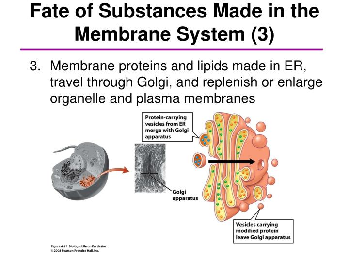 Fate of Substances Made in the Membrane System (3)