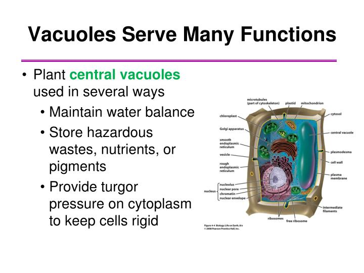 Vacuoles Serve Many Functions