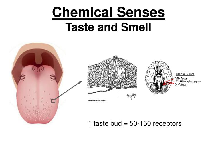 smell and taste chemical senses