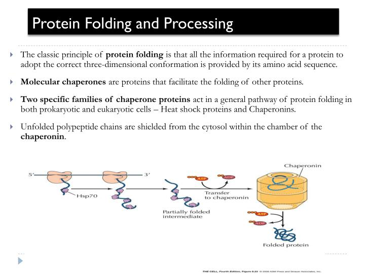 a report on the process of protein folding Protein quality control, also known as proteostasis, constitutes the regulation of protein synthesis, folding, unfolding and turnover it is mediated by chaperone.