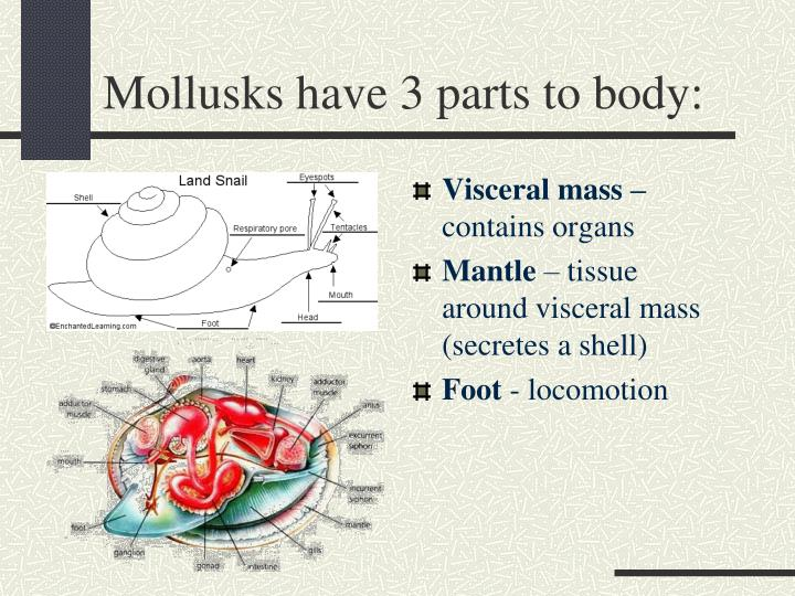 Mollusks have 3 parts to body: