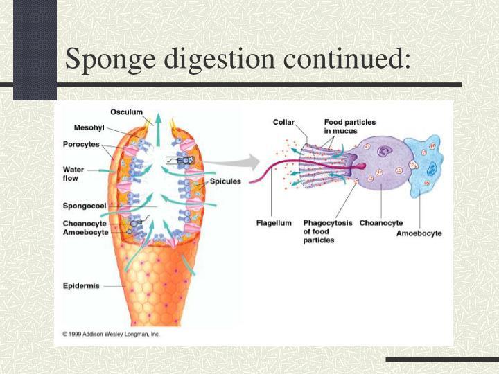 Sponge digestion continued: