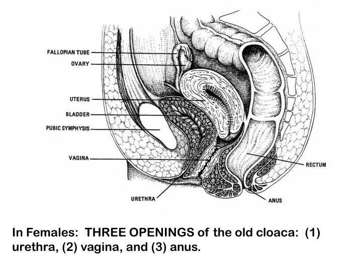 In Females:  THREE OPENINGS of the old cloaca:  (1) urethra, (2) vagina, and (3) anus.
