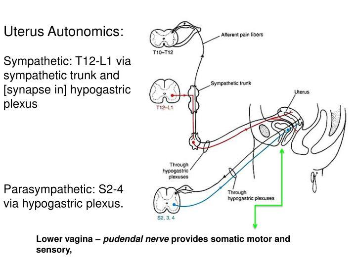 Uterus Autonomics:
