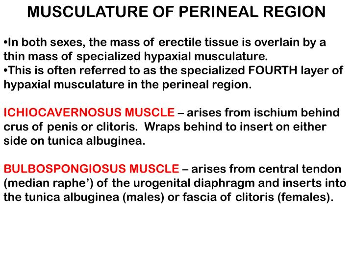 MUSCULATURE OF PERINEAL REGION