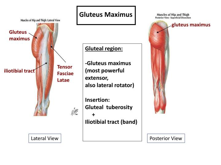 Ppt Muscles Of The Gluteal Region Powerpoint Presentation Id2176624