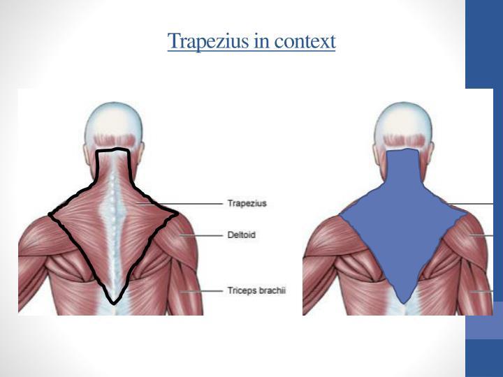 Trapezius in context