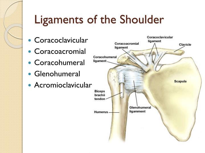 Ligaments of the Shoulder