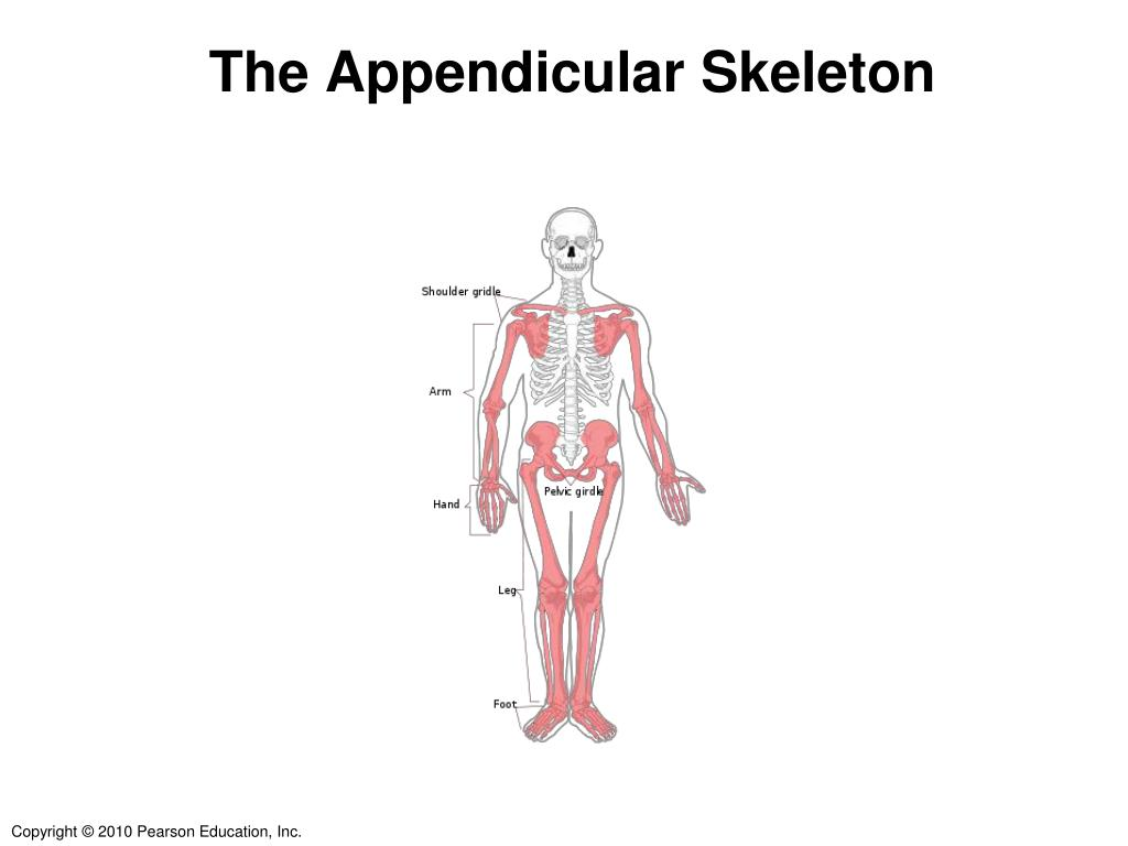 ppt the appendicular skeleton powerpoint presentation id 2176751