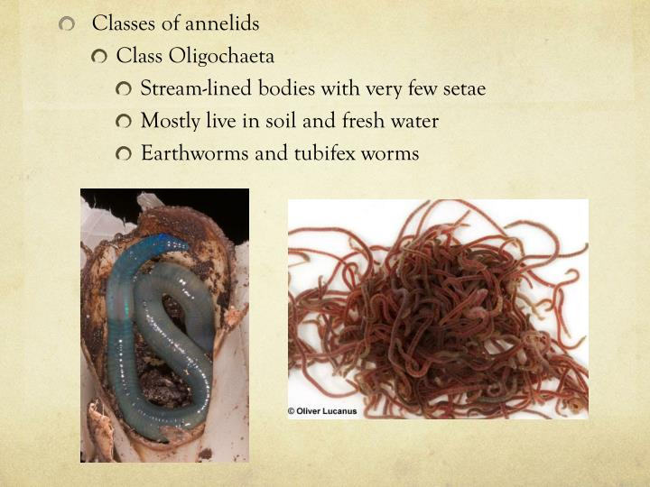 Classes of annelids