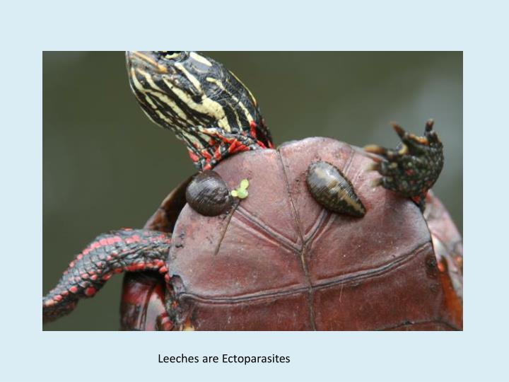 Leeches are