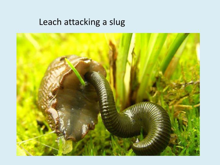 Leach attacking a slug