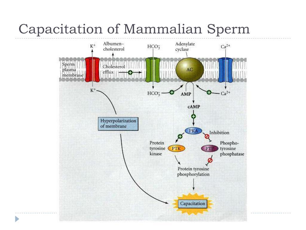 girls-sperm-capacitation-in-vitro-ivy
