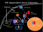 hif dependent gene induction