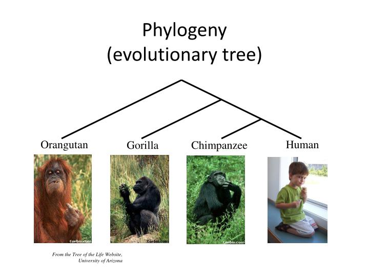 Phylogeny evolutionary tree
