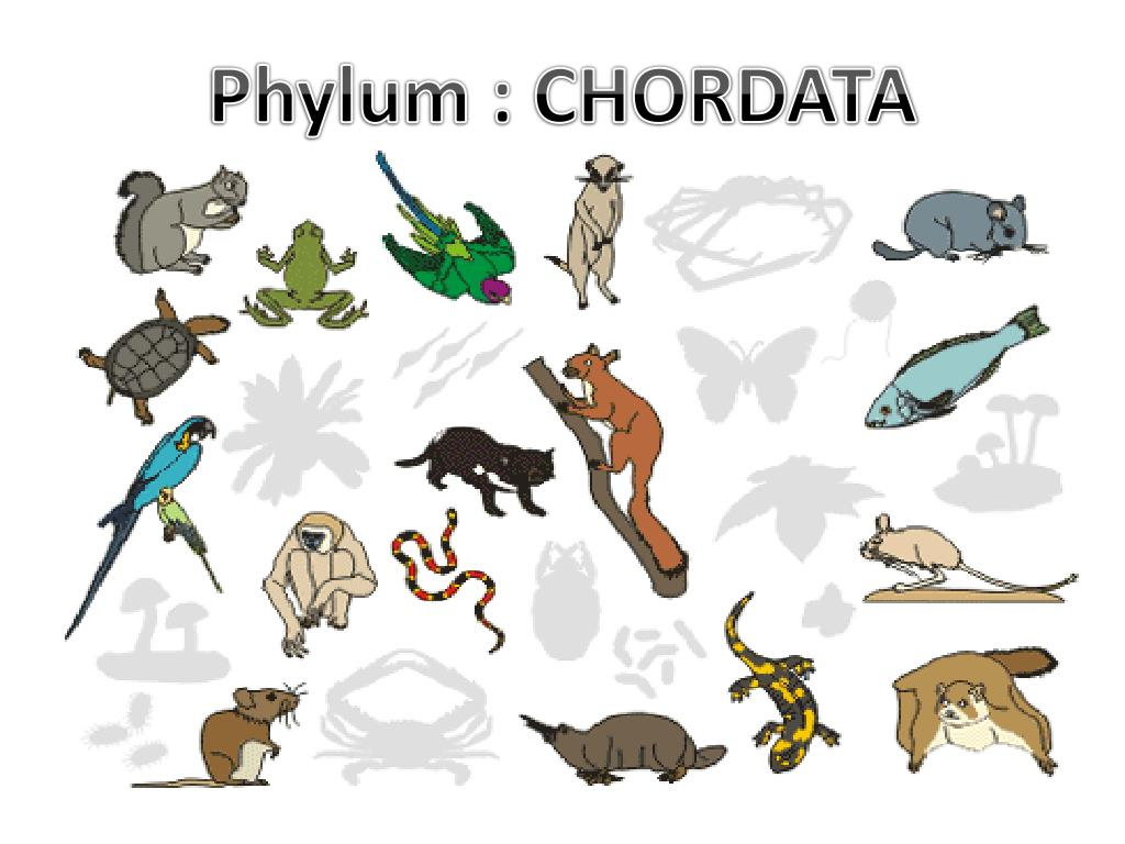 ppt phylum chordata powerpoint presentation id 2179011