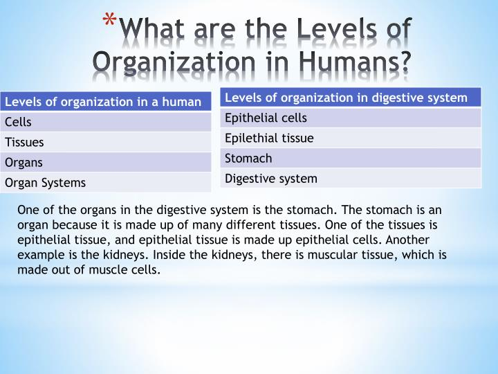 One of the organs in the digestive system is the stomach. The stomach is an organ because it is