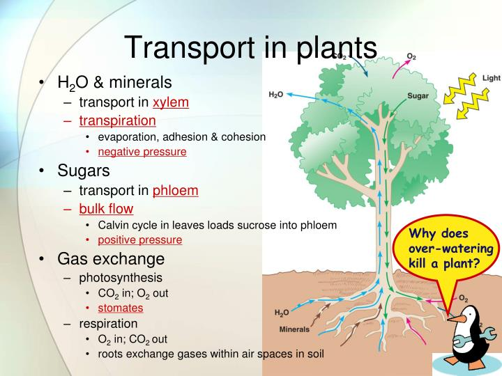 PPT - Transpiration Mr. West AP Biology PowerPoint ...