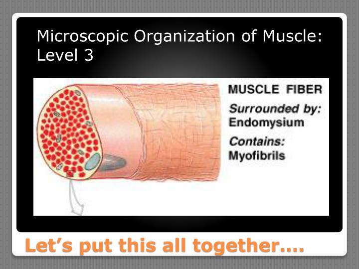 Microscopic Organization of Muscle: