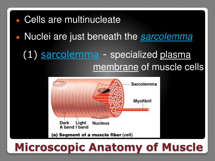 Cells are multinucleate