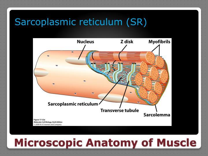 Sarcoplasmic
