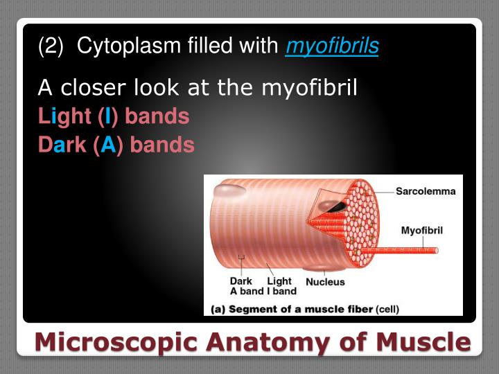 (2)  Cytoplasm filled with