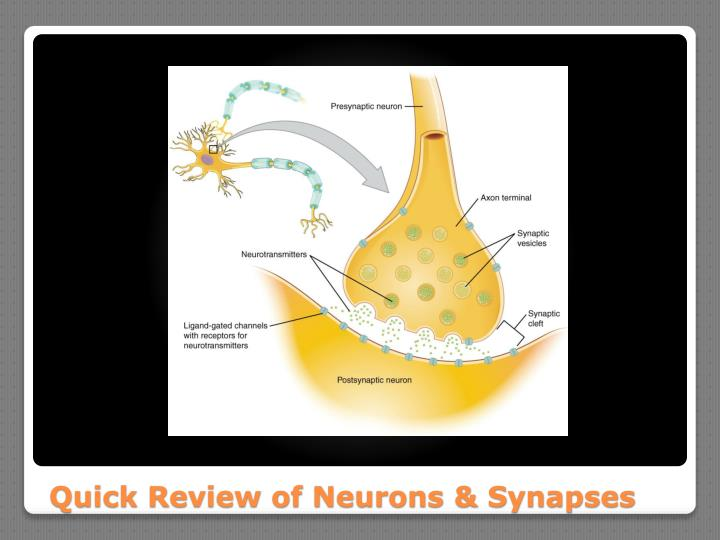 Quick Review of Neurons & Synapses