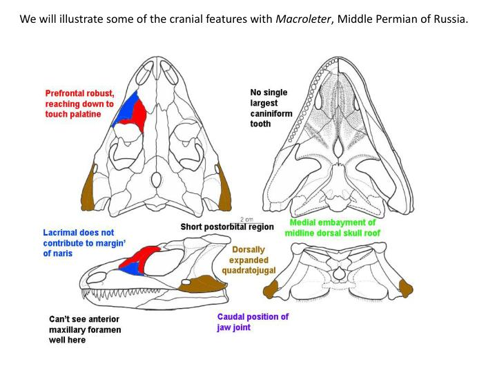 We will illustrate some of the cranial features with