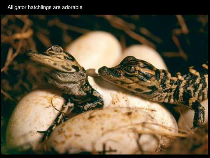 Alligator hatchlings are adorable