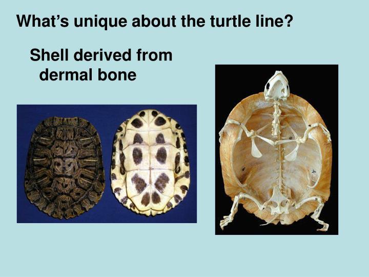 What's unique about the turtle line?