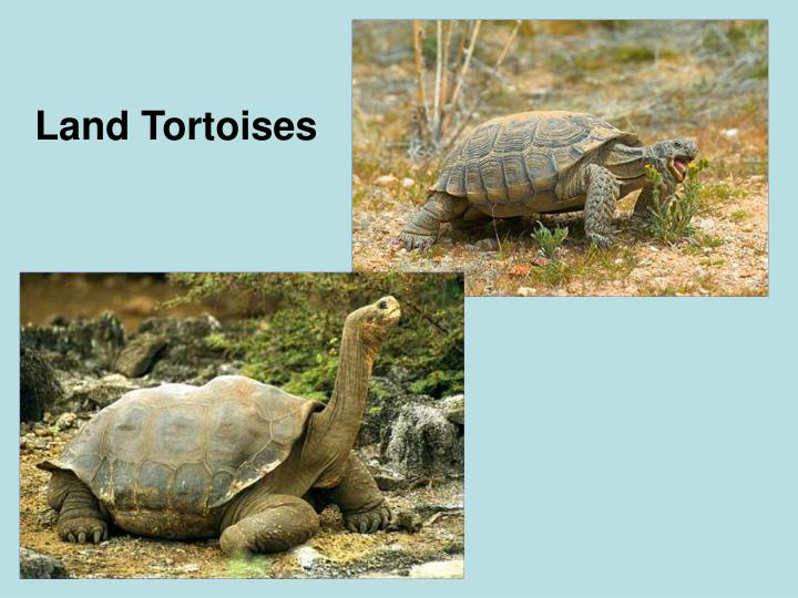 Land Tortoises