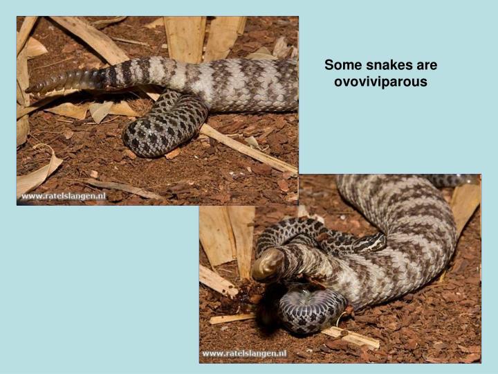 Some snakes are ovoviviparous