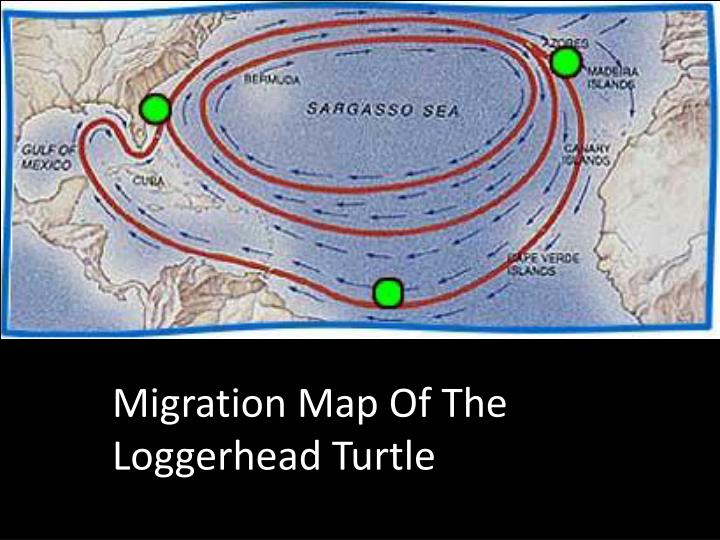 Migration Map Of The Loggerhead Turtle