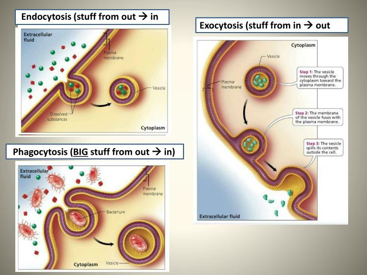 Endocytosis (stuff from out