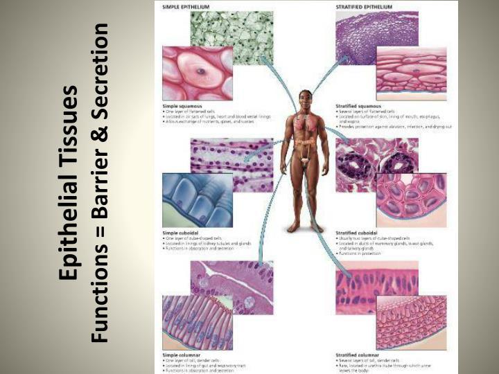 Epithelial Tissues