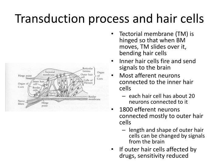 Transduction process and hair cells
