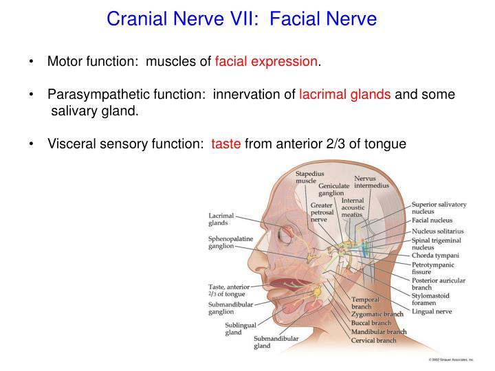 Ppt Cranial Nerves Powerpoint Presentation Id2184906
