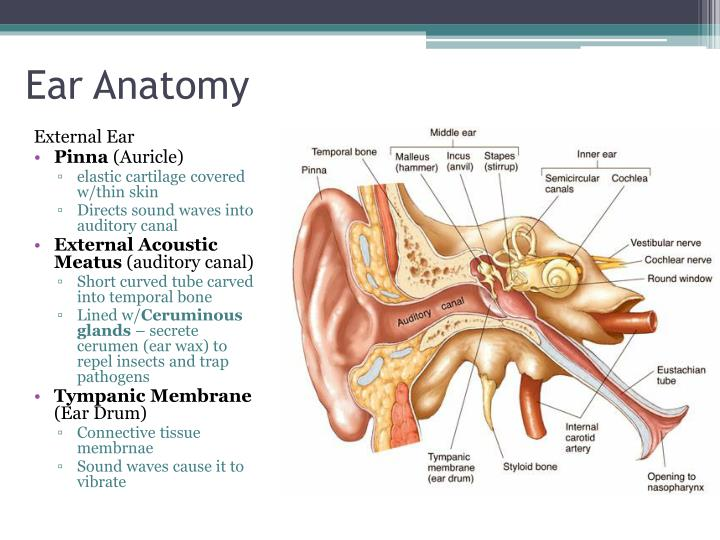 External Auditory Meatus Bone PPT - Special Senses: ...