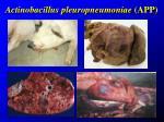 actinobacillus pleuropneumoniae app4