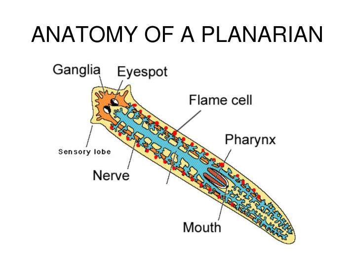 PPT - FLATWORMS PowerPoint Presentation - ID:2185699
