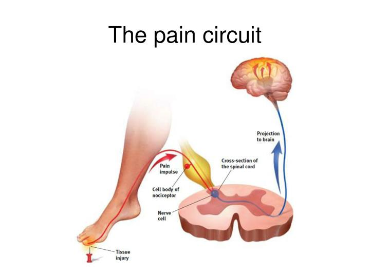 The pain circuit