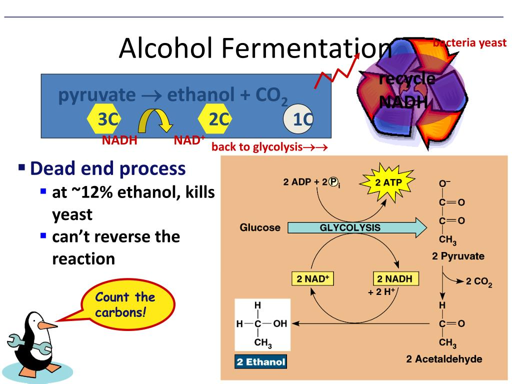 what causes fermentation to occur