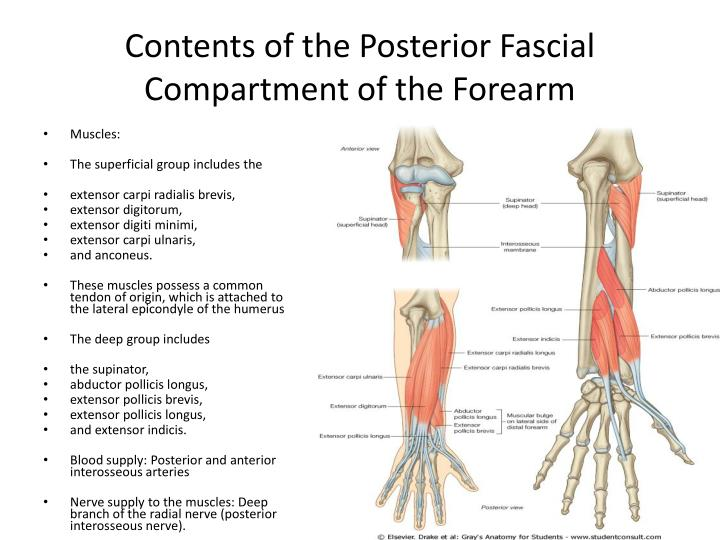 Ppt The Forearm 2 Powerpoint Presentation Id2188503