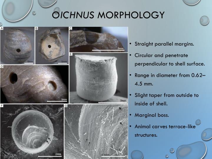 Oichnus