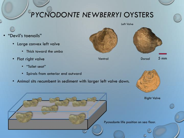 Pycnodonte newberryi oysters