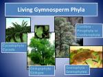 living gymnosperm phyla